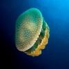 jellyfishonline